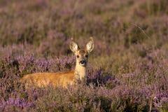 roe jeleni potomstwa Obraz Royalty Free