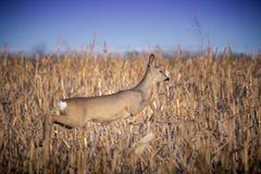 Female roe deer jumping