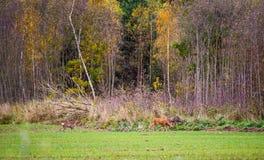 Roe rogacz, dzikie zwierzęta Fotografia Royalty Free