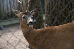 ROE rogacz kózka w zoo siatce obraz stock