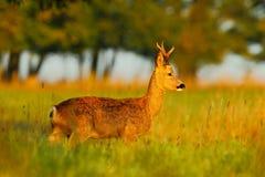 Roe rogacz, piękny ranku światło w łące Roe rogacz, Capreolus capreolus, chodzi w trawie Wschód słońca z zwierzęciem w f obrazy stock