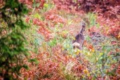 Roe rogacz w jesień lesie fotografia royalty free