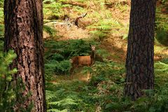 Roe rogacz w lesie obraz stock