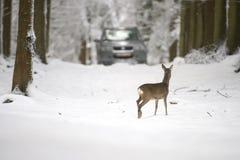 Roe rogacz w śniegu podczas zimy Fotografia Royalty Free