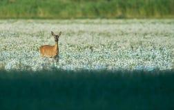 Roe rogacz w polu, łące/ Przyroda, dzikie zwierzę fotografia stock