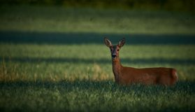 Roe rogacz w polu, łące/ Przyroda, dzikie zwierzę zdjęcie royalty free