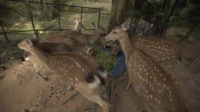 Roe rogacza zoo Tajlandia Samui zwierząt natura, przyroda, roe, samiec, futerko, roedeer, capreolus, dziki, brąz zdjęcie wideo