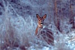 Roe rogacze w śniegu podczas zimy whid śniegu fotografia stock