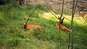Roe rogacze w dzikim Zdjęcia Royalty Free
