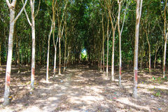 Roe of Rubber plantation Stock Photography