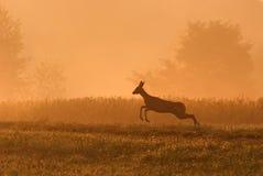 Roe running. Deer running in nature at daybreak Royalty Free Stock Image