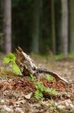 Roe skull Royalty Free Stock Photo