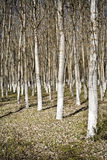 A roe of spring poplars Royalty Free Stock Photo