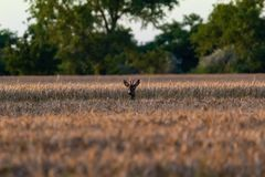 Roe in the wheat field Tamron 70 300 mm with Nikon D3100 dslr. Roe in the wheat field. Roebuck on the field royalty free stock photos