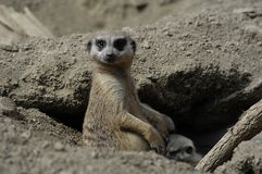 Meerkat feeding its young. Meerkat on alert Royalty Free Stock Image