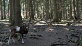 Roebock и олени в лесе сток-видео