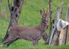 Roebuck изолированный в поле - олень, коза стоковое фото rf