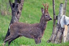 Roebuck, коза, изолированный олень стоковое изображение rf