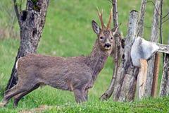 Roebuck, коза, изолированный олень стоковое фото