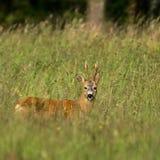Roebuck с пальто лета Стоковая Фотография RF