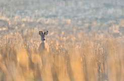 Roebuck. A roebuck in the field Royalty Free Stock Photo