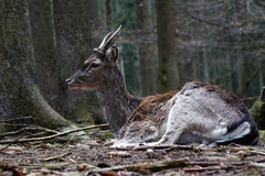 roebuck Foto de Stock Royalty Free