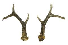 Roebuck antlers trophy Stock Images
