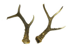Roebuck antlers trophy Stock Images