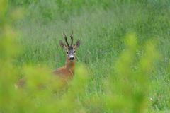 Roebuck with antlers watching in the grass royalty free stock photos