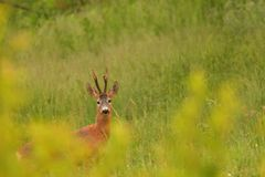 Roebuck with antlers watching in the grass stock images