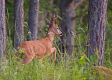 Roebuck (Capreolus capreolus). The roebuck watching before leaving the woods in Uppland, Sweden royalty free stock images