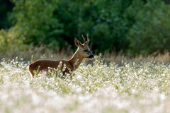 Roebuck (capreolus capreolus) Royalty Free Stock Photography