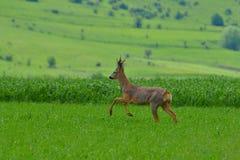 Roebuck (capreolus capreolus) Royalty Free Stock Photography