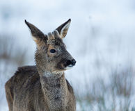 Roebuck-2 Royalty Free Stock Images