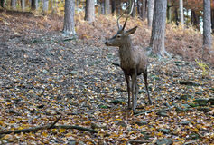 Roebuck in the forest Stock Photos