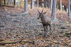 Roebuck in the forest Royalty Free Stock Photography
