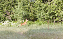 Roebuck in forest Royalty Free Stock Photo