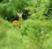 Roebuck in the forest. Roe buck in the forest Stock Photography