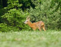 Roebuck in the forest. Roe buck in the forest Stock Image