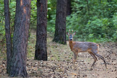 Roebuck in the forest Royalty Free Stock Photos