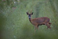 Roebuck. On a green field Stock Photos