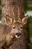 Roebuck. After having rubbed off the velvet skin from his antlers Stock Images