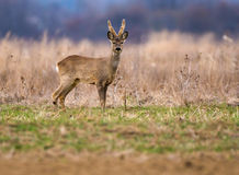 Roebuck on a meadow Royalty Free Stock Photography