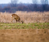 Roebuck on a meadow Royalty Free Stock Photos