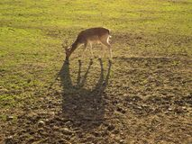Roebuck on a meadow royalty free stock photo