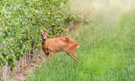 Roebuck in its natural environment royalty free stock images