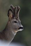 Roebuck portrait. Roe deer portrait. Royalty Free Stock Image