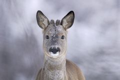 Roebuck portrait in the winter Stock Images