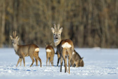 Roebuck showing its buttock. In winter royalty free stock photos