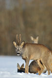 Roebuck staring Stock Images